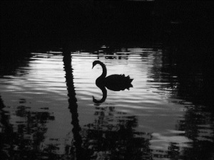 Photo - the-black-swan